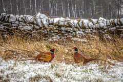 Male Pheasants in Winter Snow Royalty Free Stock Photos