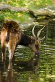 Male Philippine spotted deer drinking. Male Philippine spotted deer standing in water and drinking Royalty Free Stock Image