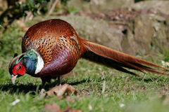 Male picka för Pheasant i gräs med den långa svanen Royaltyfri Fotografi