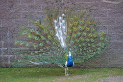 Male Piebald Peacock Displaying. Peafowl displaying in front of wall Royalty Free Stock Images