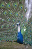 Male Piebald Peacock Displaying. Male displaying with white feathers Stock Photography