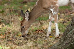 Male Piebald Whitetailed Deer. A male Piebald Whitetailed deer grazes in the forest Stock Photo