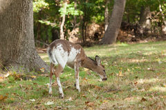 Male Piebald Whitetailed Deer. A male Piebald Whitetailed deer grazes in the forest Stock Photography