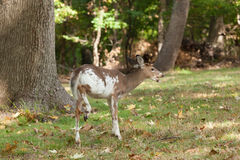 Male Piebald Whitetailed Deer. A male Piebald Whitetailed deer grazes in the forest Stock Image