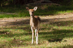 Male Piebald Whitetailed Deer. A male Piebald Whitetailed deer stands at the edge of the forest Royalty Free Stock Photo