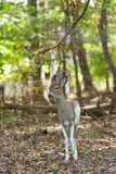 Male Piebald Whitetailed Deer. A male Piebald Whitetailed deer walks through the forest Royalty Free Stock Photos