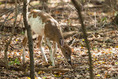 Male Piebald Whitetailed Deer. A male Piebald Whitetailed deer walks through the forest Royalty Free Stock Photography