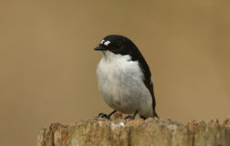 A male Pied Flycatcher Ficedula hypoleuca. Stock Image