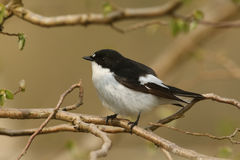 A male Pied Flycatcher Ficedula hypoleuca. Royalty Free Stock Photography