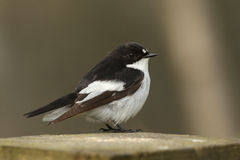 A male Pied Flycatcher Ficedula hypoleuca, perched on a tree stump. Stock Photography