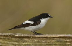 A male Pied Flycatcher Ficedula hypoleuca. Royalty Free Stock Photo