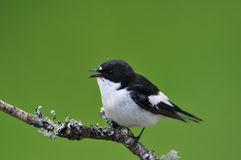 Male Pied Flycatcher Stock Photos