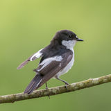 Male pied flycatcher Stock Photography
