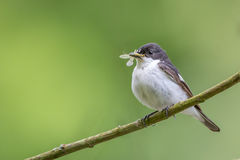 Male pied flycatcher Royalty Free Stock Photo