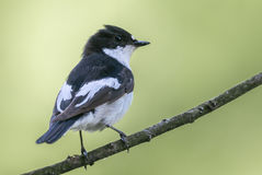 A male pied flycatcher perching. Royalty Free Stock Image