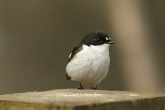 A male Pied Flycatchers Ficedula hypoleuca. Royalty Free Stock Photos