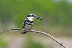 Male Pied Kingfisher Royalty Free Stock Photo