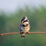 Male Pied Kingfisher Stock Images