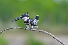 Male Pied Kingfisher Royalty Free Stock Image