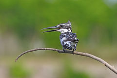Male Pied Kingfisher Stock Photo
