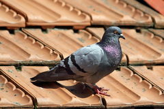 Male pigeon on roof tiles. Male pigeon standing on roof tiles in a spring day, looking for a mate Stock Photos