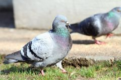 Male pigeon walking proud Royalty Free Stock Photo