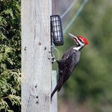 Male Pileated woodpecker. Royalty Free Stock Images
