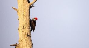 Male pileated woodpecker bird Dryocopus pileatus. Taps on a bald cypress tree Taxodium distichum at the Corkscrew Swamp Sanctuary in Naples, Florida Royalty Free Stock Photos