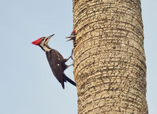 Male Pileated Woodpecker Royalty Free Stock Image
