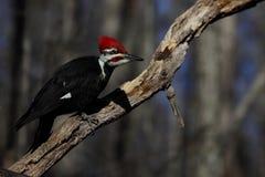 Male Pileated Woodpecker Stock Photo