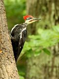 Male pileated woodpecker stock photo