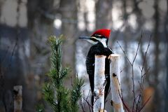 Male pileated woodpecker dryocopus pileatus perched on birch stump looking left Stock Photos