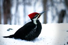Male pileated woodpecker dryocopus pileatus standing on snow looking up Royalty Free Stock Image