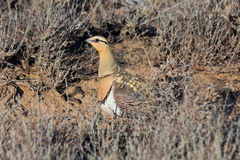 Male of Pin-tailed sandgrouse Pterocles alchata Stock Images