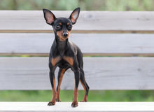 Male Pincher Toy Dog Stock Images