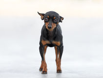 Male Pincher Toy Dog. Stands in front of a blurry background Stock Images