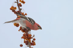 Male Pine Grosbeak with Crabapples Stock Photography