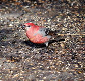 Male Pine Grosbeak Royalty Free Stock Photos