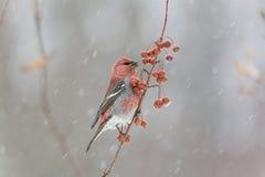 Male Pine Grosbeak in snowstorm Royalty Free Stock Image