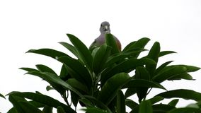 Male Pink-necked Green Pigeon Preening stock video footage