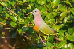 Male Pink-necked Green Pigeon Royalty Free Stock Photography
