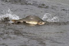Male pink salmon floating on the shallow mouth of the river befo. Re entering the spawning river Stock Images