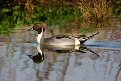 Male Pintail Royalty Free Stock Photography