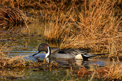 Male Pintail in Marsh in Fall Royalty Free Stock Images