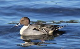 Male pintail Royalty Free Stock Image