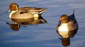 Male Pintail Stock Photo