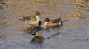 Male Pintails Royalty Free Stock Image