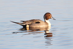 Male Pintails Swimming Royalty Free Stock Photography