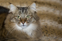 Long-Whiskered Pixie Bob Cat Royalty Free Stock Photo