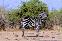 The male plains zebra, Equus quagga, Zimbabwe Stock Image